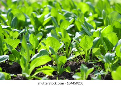 baby pak choi or bok choy in field