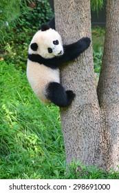 Baby panda climb a tree