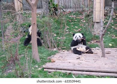 A baby panda eating bamboo