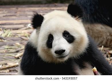 Baby Panda on the playground