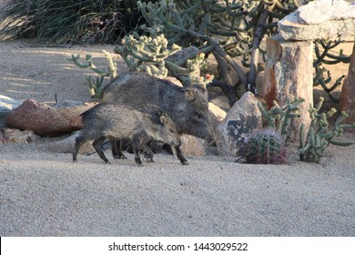 Baby and Parent Javelina in Scottsdale Arizona