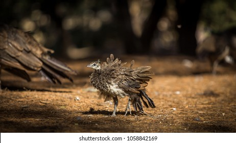 Baby peacock in the brown plakka forrest on Greece island of Kos