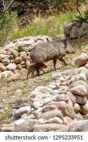 Baby peccary carefully following mom back up to the cave.