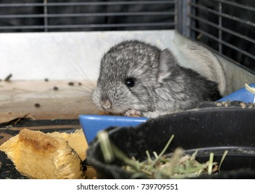 Baby pet Chinchilla in cage.