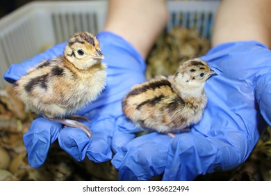 Baby pheasant in incubator, close up chicks hatched from an eggs in farm hatchery, after breeding they are released into the wild