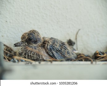 Baby Pigeon about a week old stay lodge in a nest, with little a feather growing, showing some stool dirty in the nest