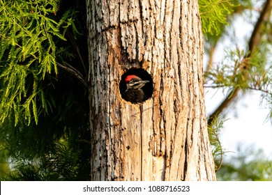 Baby pileated woodpecker chick Hylatomus pileatus peeks out of its nest hole and waits to be fed in Naples, Florida