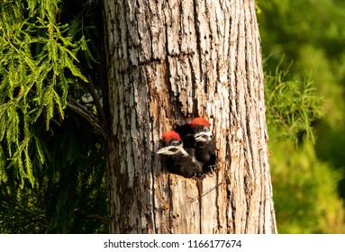 Baby pileated woodpecker chick Hylatomus pileatus peeks out of its nest