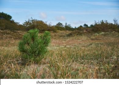 A baby pine tree growing in an empty field in the dunes in Bergen Noord-Holland