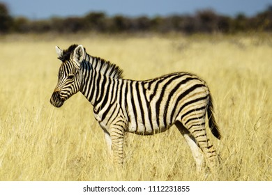 Baby plains zebra or common zebra standing in long grass. Namibia, Africa.