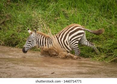 Baby plains zebra jumps into muddy river