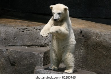 Baby Polar Bear Hudson Dancing Hokey Pokey At Brookfield Zoo Chicago