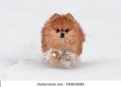 Baby pomeranian spitz playing in winter day