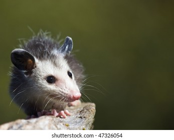 Baby possum crawls along a small branch