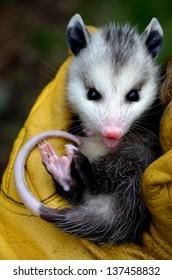 Baby Possum in Hand