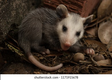 A baby possum lost from its mother found at a residence in West Houston.