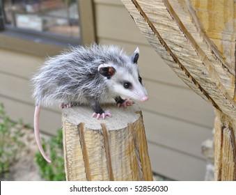 Baby possum sitting on pedestal