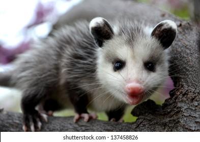 Baby Possum in Tree