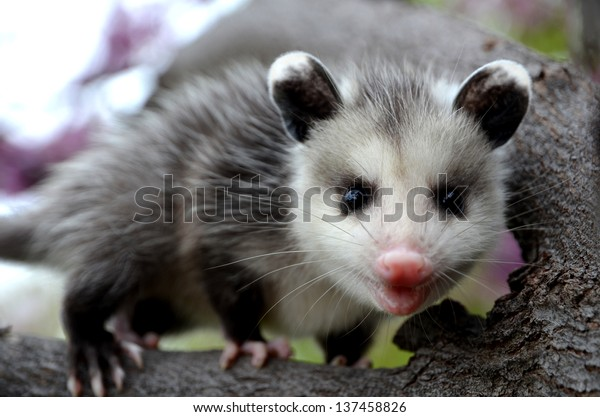 Baby Possum in Tree