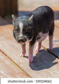 A baby potbelly pig on a boardwalk in the sun.