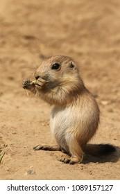 Baby prairie dog eating