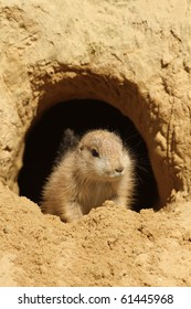 Baby prairie dog looking out of its burrow
