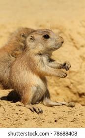 Baby prairie dog standing upright