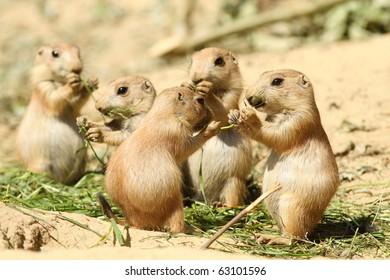 Baby prairie dogs eating