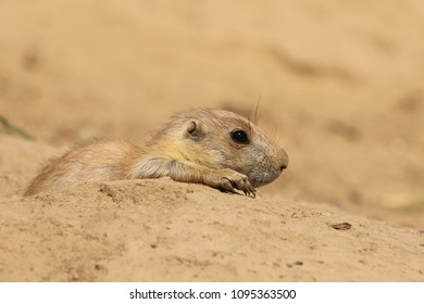 Baby priarie dog looking out of its burrow