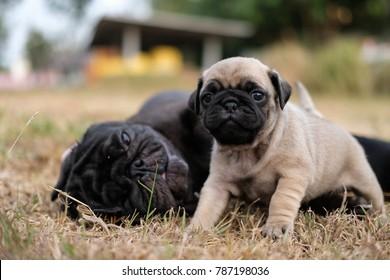 Baby pug dog laying with mama pug dog.