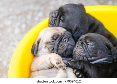Baby pug dog laying in yellow plastic bowl