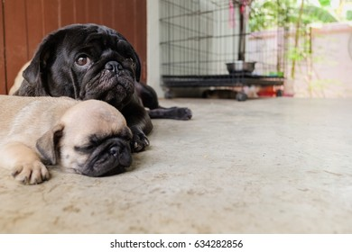 Baby pug dog lying to sleep on concrete floor.
