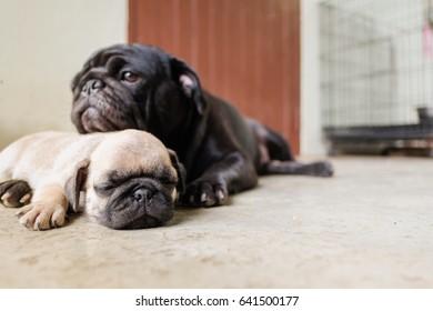 Baby pug dog lying to sleep on concrete floor.