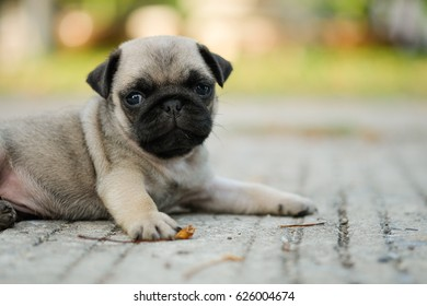 Baby pug dog playing on concrete road.