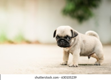 Baby pug dog Standing pee on concrete road.