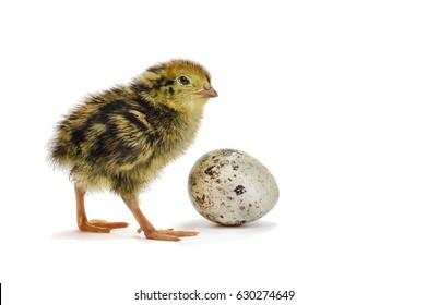 Baby Quail Images Stock Photos Vectors Shutterstock