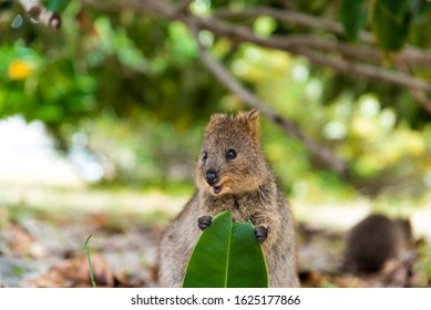 Baby quokka eating ficus leaf. Rottnest Island, Western Australia. Quokka - the happiest animal on Earth