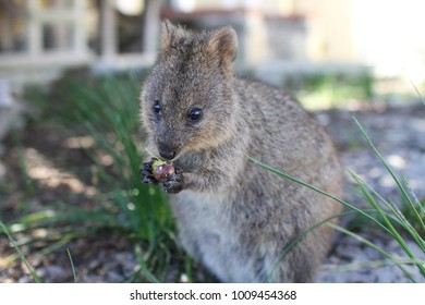 Baby quokka sitting in grass eating a small olive berry on Rottnest Island, Perth, Western Australia