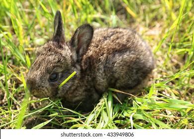 Baby rabbit eating green grass
