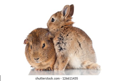 baby rabbit and guinea pig together