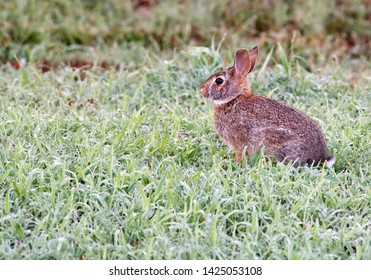 A baby rabbit in the wet grass in the early morning.