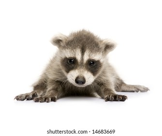 baby raccoon (6 weeks) - Procyon lotor in front of a white background