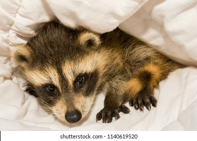 A baby raccoon at an animal hospital