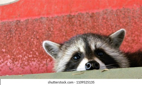 Baby Raccoon close up on machinery