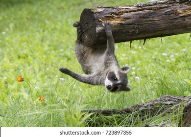 Baby Raccoon Hanging from a Log with one Paw Outstretched