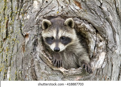 Baby Raccoon with Head and One Paw Sticking out of a Hole in a Tree
