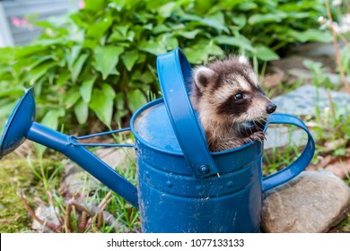 A baby Raccoon hiding in the garden.