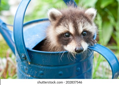 Baby Raccoon hiding in a watering can.