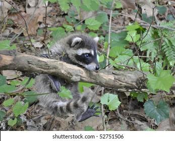 Baby Raccoon playing on vine
