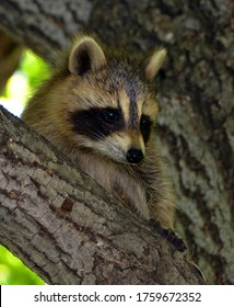Baby  raccoon or racoon or common, North American, northern raccoon and colloquially as coon is a medium-sized mammal native to North America.